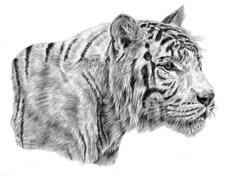 Tiger Drawing - White Tiger by Pencil Paws