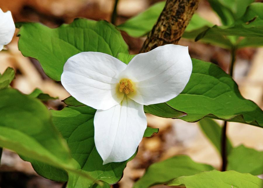 White Trillium Spring Wildflower Photograph