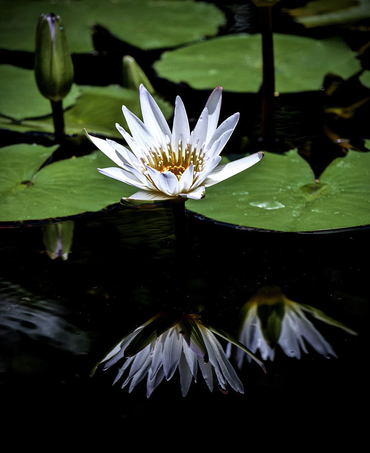 Flowers Photograph - White Waterlily Reflections by Venetia Featherstone-Witty