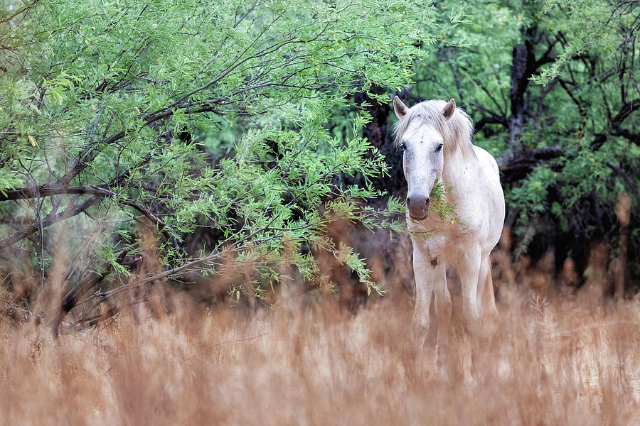 White Wild Horse in Field Looking at Camera by Susan Schmitz