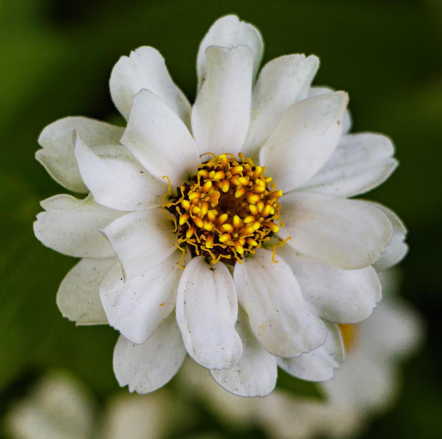 Zinnia Photograph - White Zinnia Flower by Venetia Featherstone-Witty