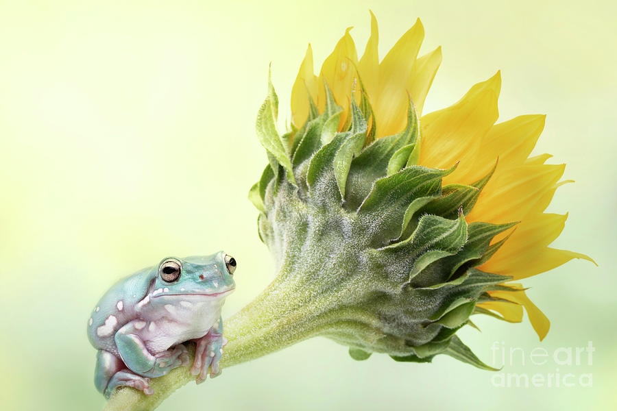 Whites Tree Frog And Sunflower Photograph