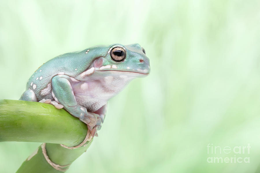 Whites Tree Frog On Lucky Bamboo Photograph
