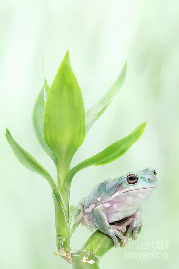 Frog Photograph - Whites Tree Frog Sitting On Lucky Bamboo by Linda D Lester