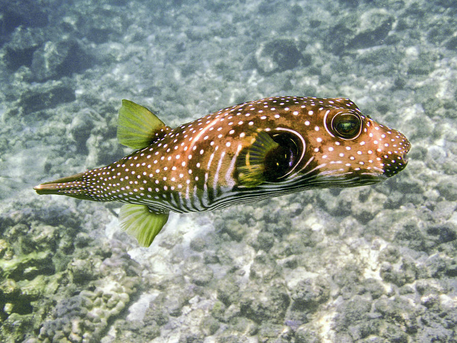 White Spotted Puffer Fish by Denise Bird