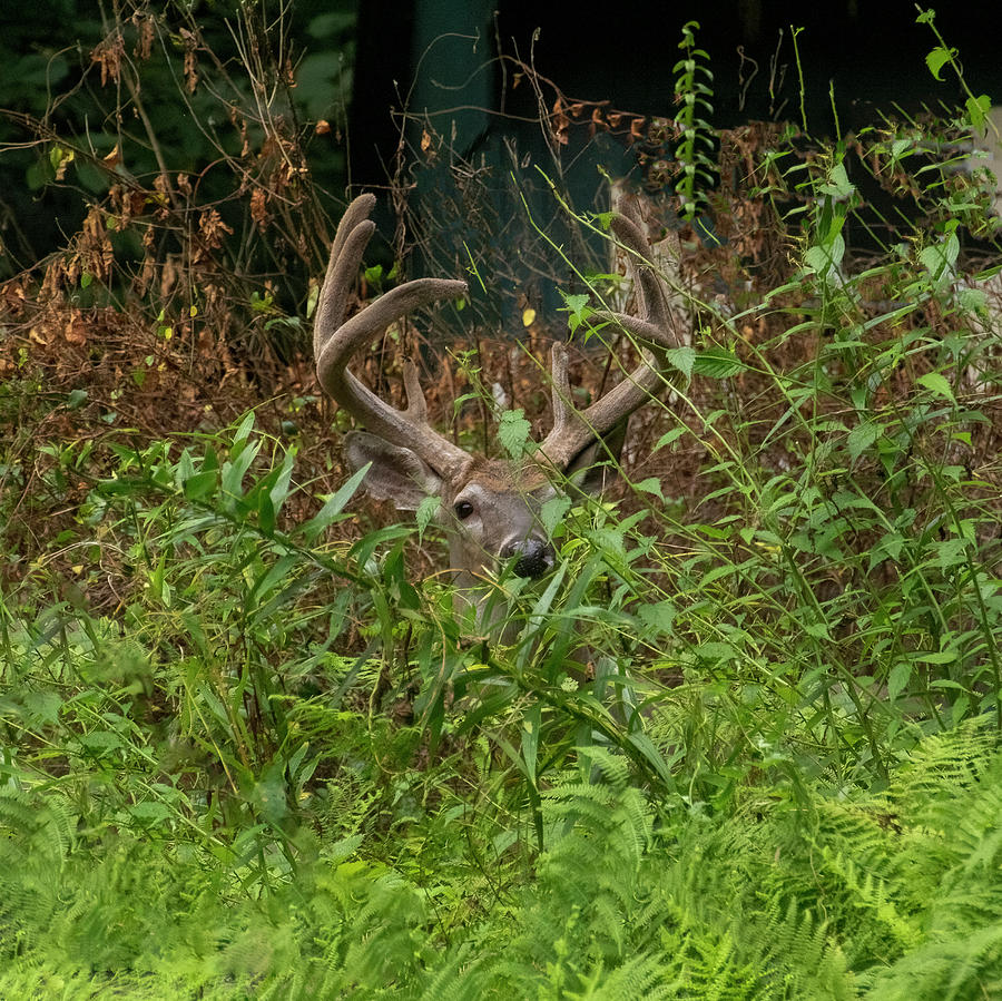 Whitetail Buck With Nice Rack In Velvet Photograph