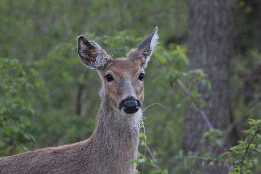 White-tailed Deer Photograph - Whitetail Portrait by Callen Harty