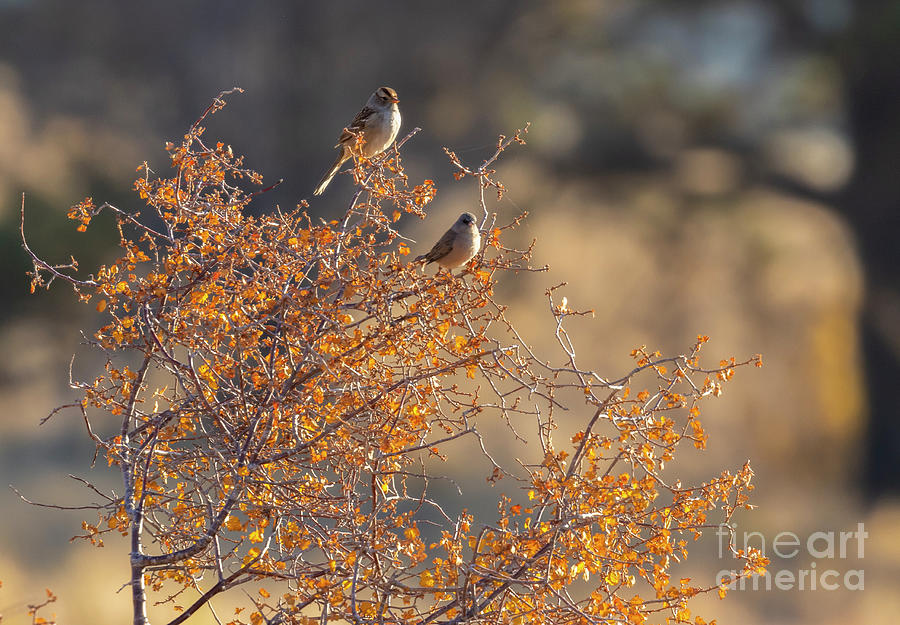 Whtie Crowned Sparrows Photograph