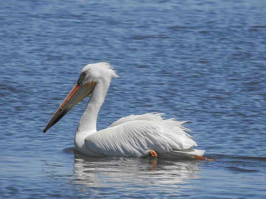 White Pelican Swimming on Barr Lake by NaturesPix