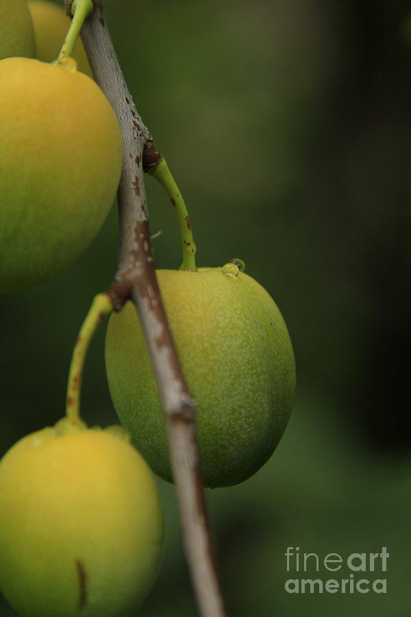 Fruit Photograph - Wild Apricots 2 by Roland Stanke