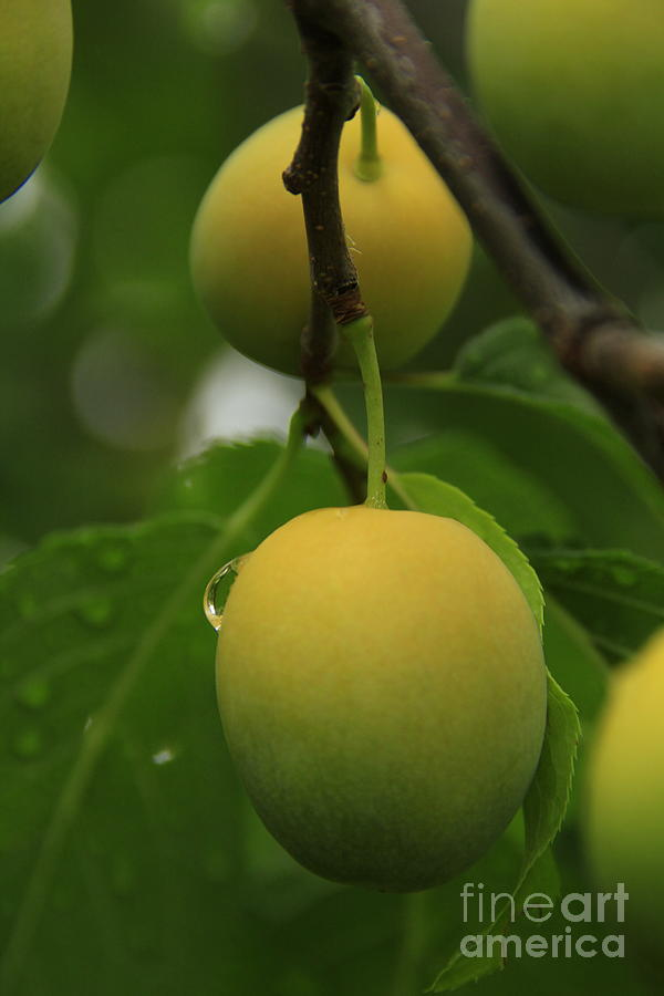 Fruit Photograph - Wild Apricots 3 by Roland Stanke