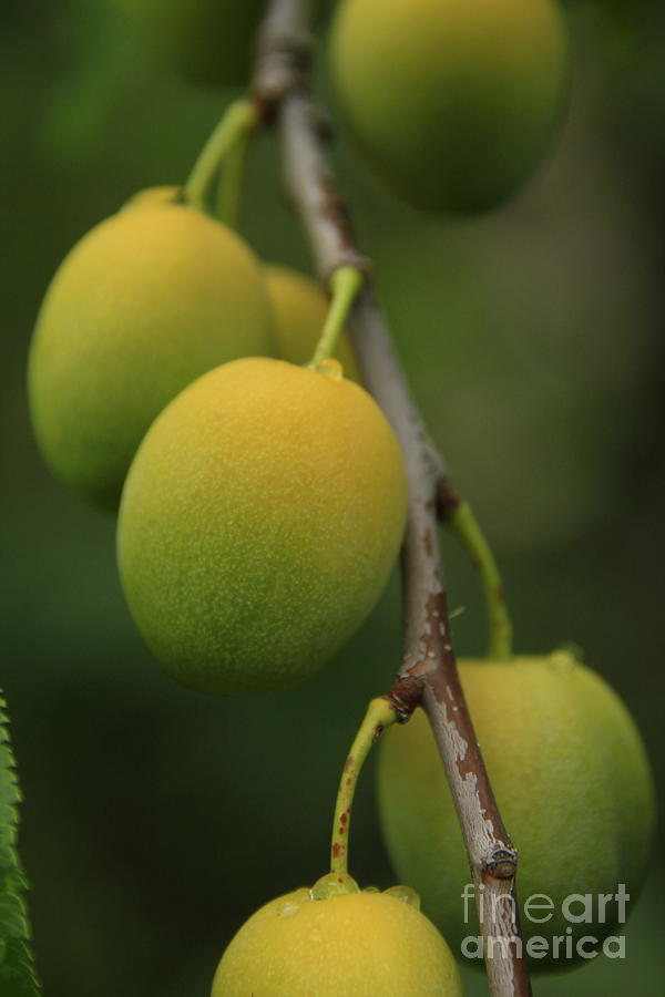 Fruit Photograph - Wild Apricots by Roland Stanke