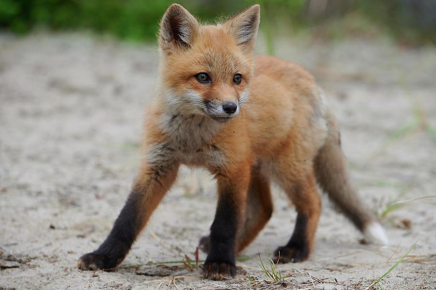 Wild Baby Red Fox On Alert Photograph