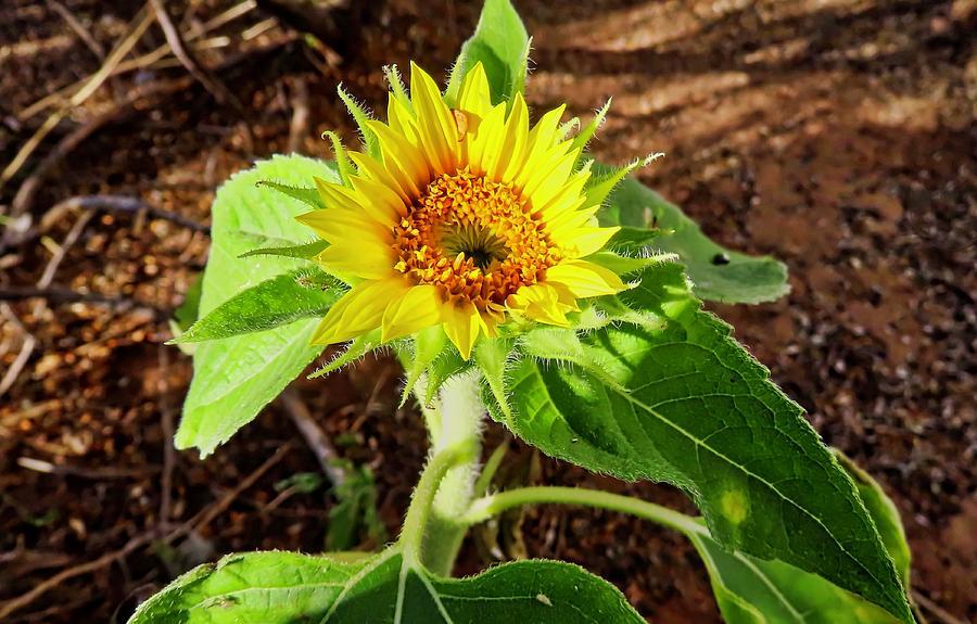 Wild Baby Sunflower by Judy Kennedy