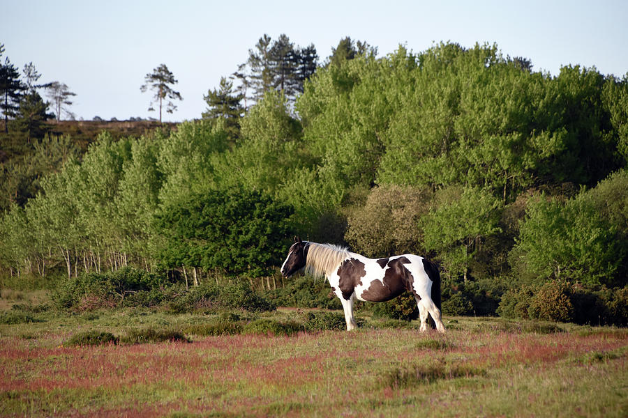 Wild black and white horse heathland Wareham Dorset by Loren Dowding