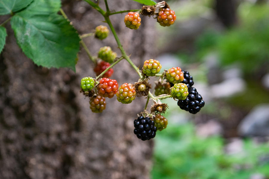 Wild Blackberries Along Workman Creek Photograph