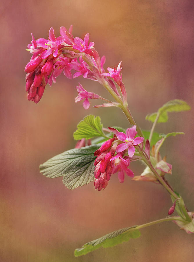 Flower Photograph - Wild Currant by Mary Jo Allen