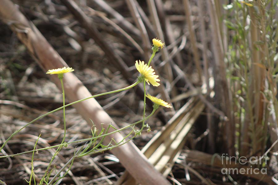 Wild Desert Dandelion and Worn Wood Coachella Valley Wildlife Preserve by Colleen Cornelius