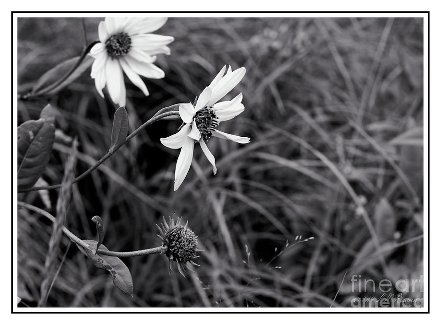 Flowers Photograph - Wild Field Flowers In Monochrome by Images Undefined