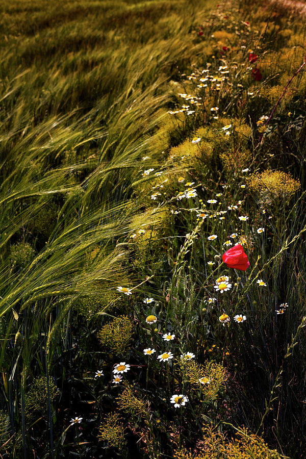 Flower Photograph - Wild Flowers In The Field by Vicente Sargues
