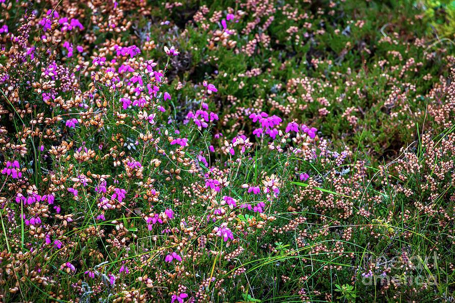 Wild Heather On Isle Of Skye Photograph