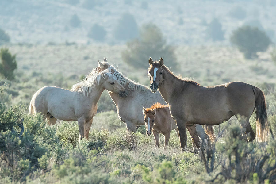Wild Horse Familial Band Bonding In Early Morning, No. 1 Photograph