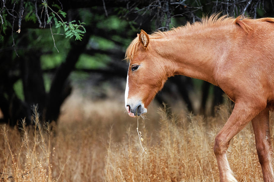 Wild Horse With Grass in Mouth by Susan Schmitz