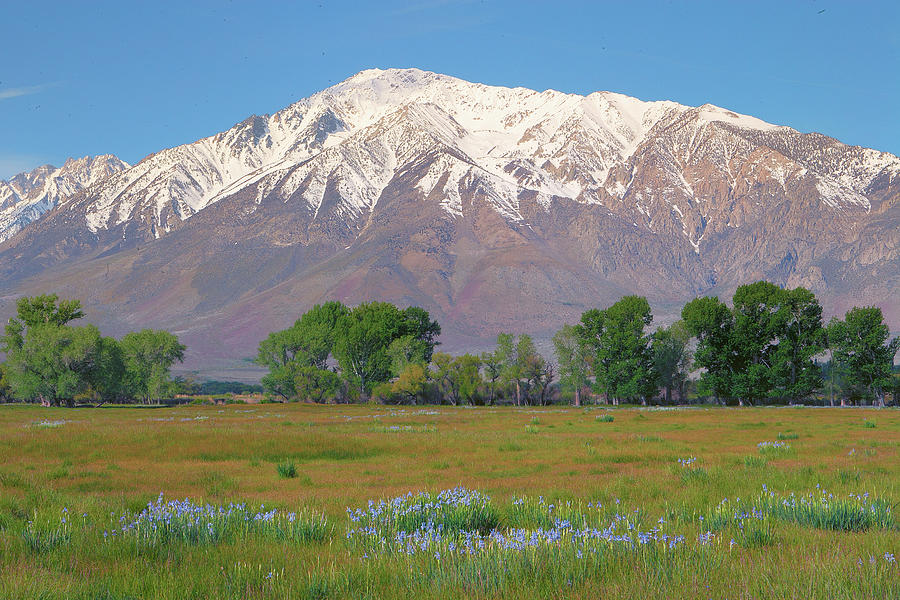 Wild Irises And Mount Tom In Eastern Sierra, California Photograph