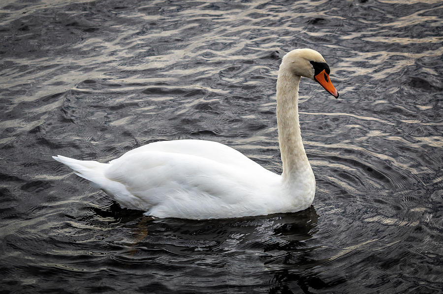 Wild Irish Swan by Susie Weaver