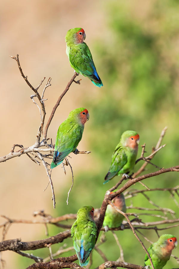 Wild Parrots by the Pool by Belinda Greb