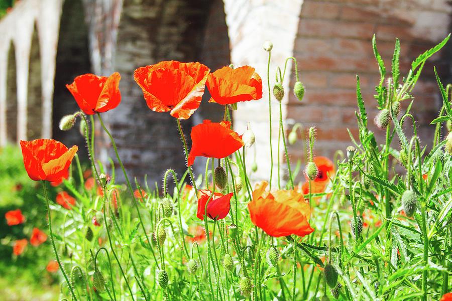 Wild Poppies Growing At The Bottom Of Brick Pillars Photograph