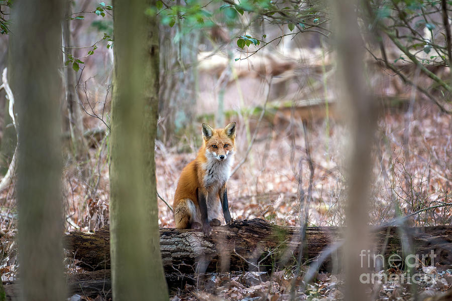 Wild Red Fox sitting on a log in the sunlight in the trees by Patrick Wolf