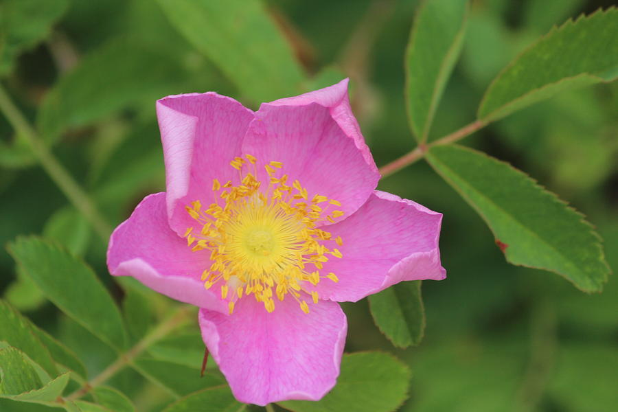 Wild Rose Photograph - Wild Rose by Callen Harty