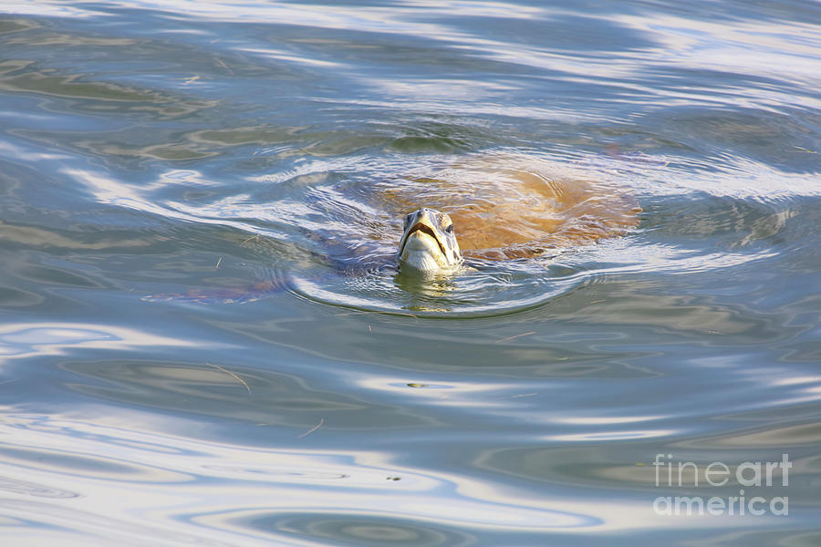 Sea Turtle Photograph - Wild Sea Turtle by Felix Lai