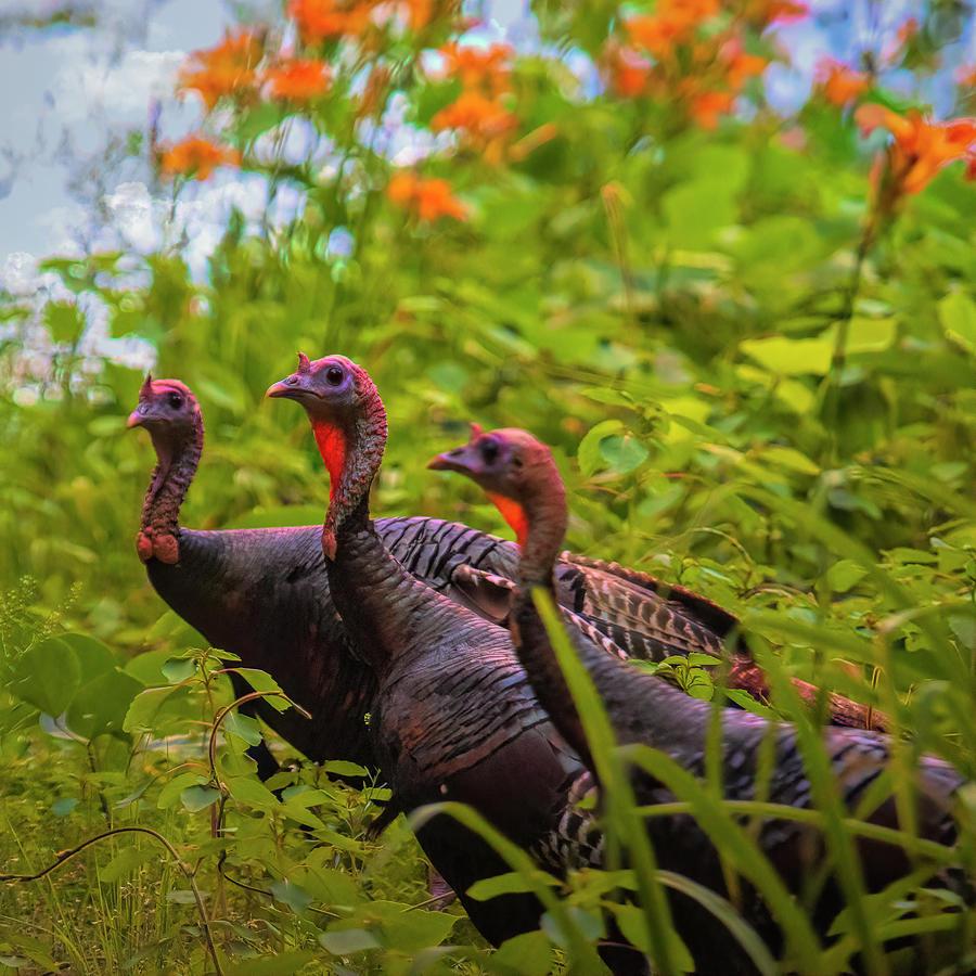 Wild Turkey Trio North Carolina Photograph
