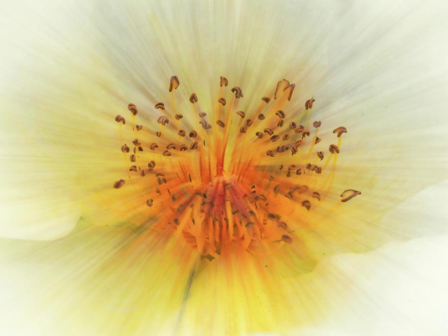 Wild White Rose Digital Art