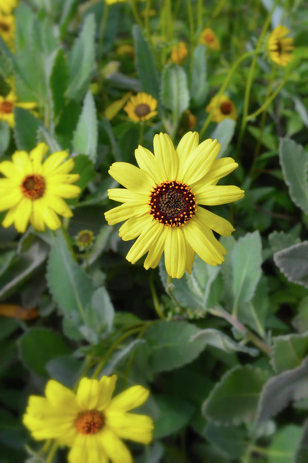Wild Yellow Daisies Photograph
