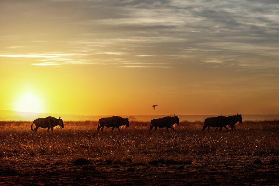 Wildebeest Walking Along the Sunset by Susan Schmitz