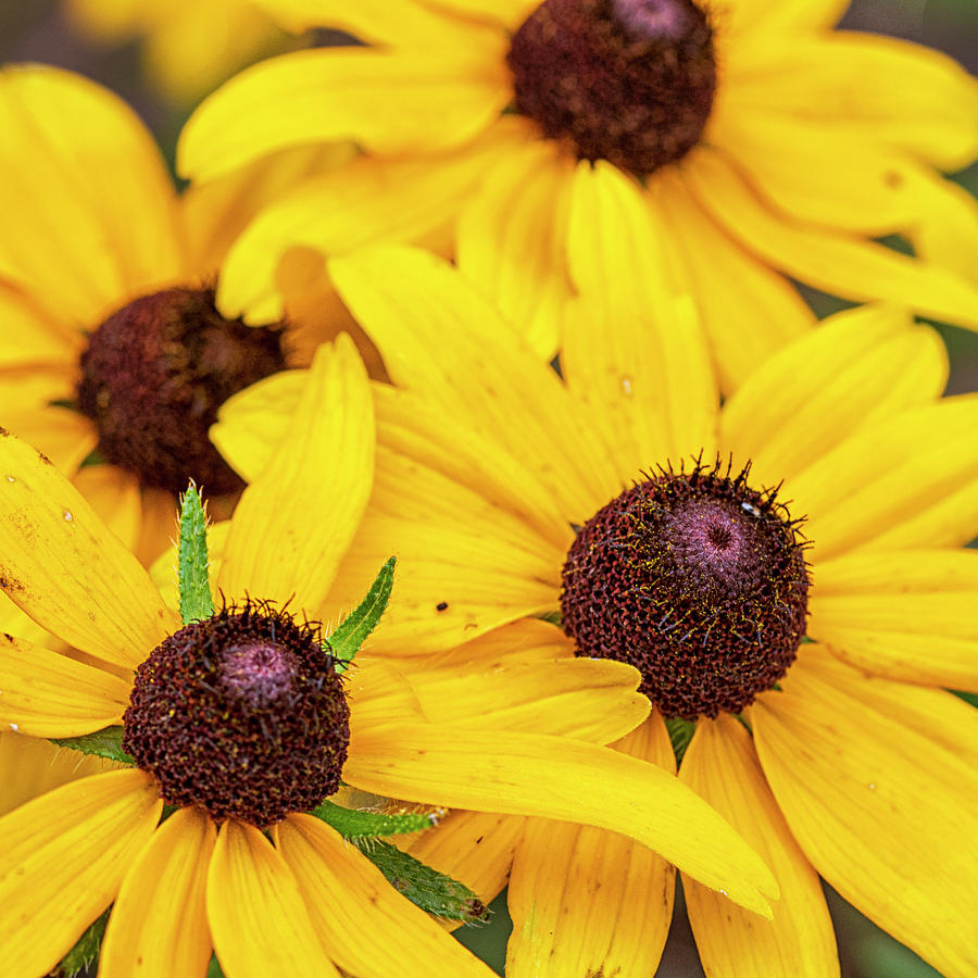 Wildflower Cluster - Black-eyed Susans In The Croatan National F Photograph