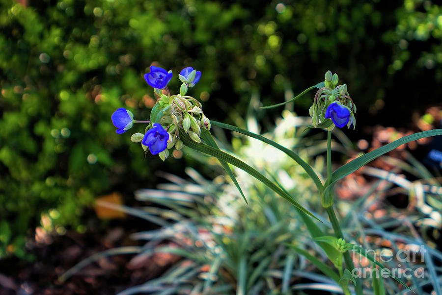 Spiderwort Photograph - Wildflower Of Florida, Spiderwort by Felix Lai