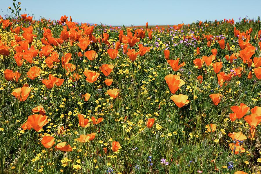 Wildflower Super Bloom Photograph
