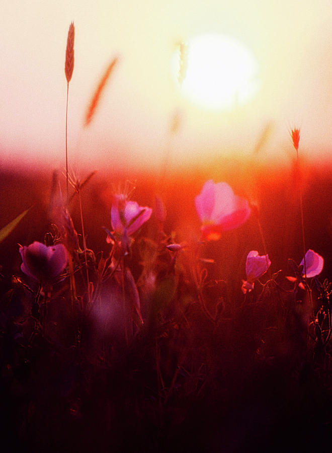 Wildflowers At Sunset Photograph