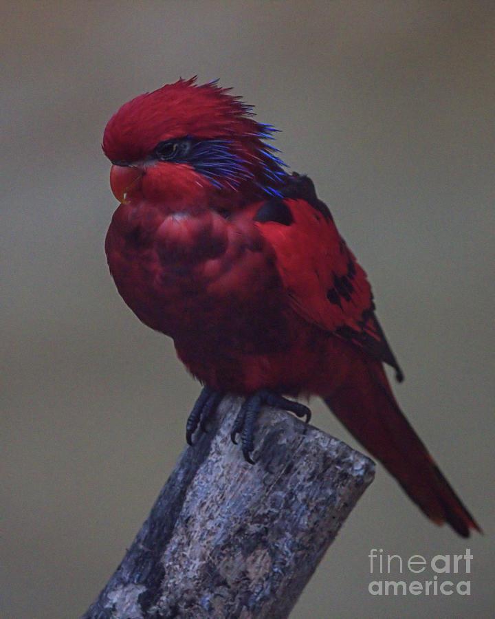 Wildlife_lorikeet_busch Gardens_imgl3426 -1 Photograph
