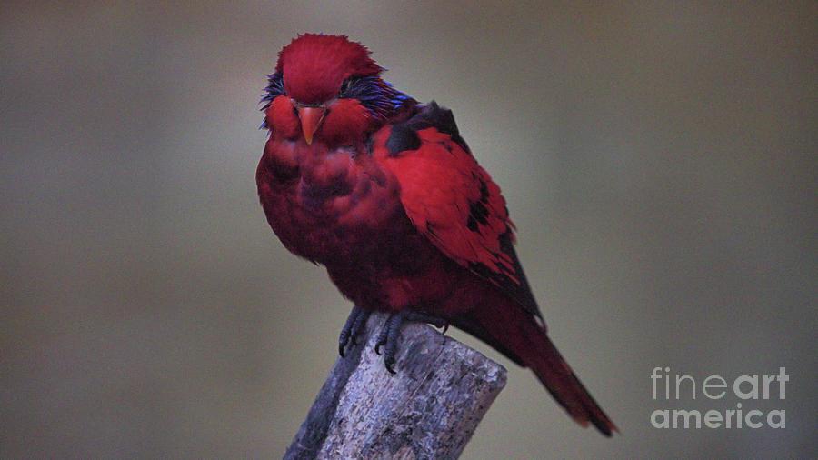 Wildlife_lorikeet_busch Gardens_imgl3429 -1 Photograph