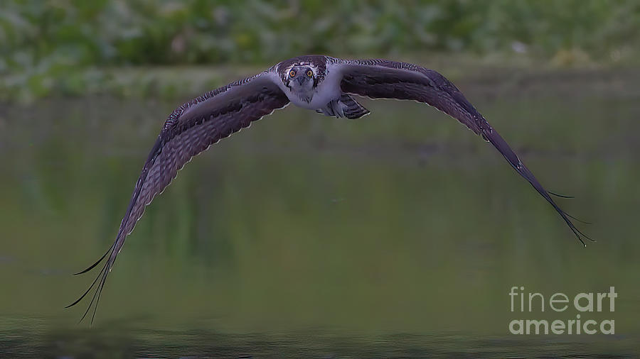 Wildlife_osprey_paynes Prairie_6029 Photograph
