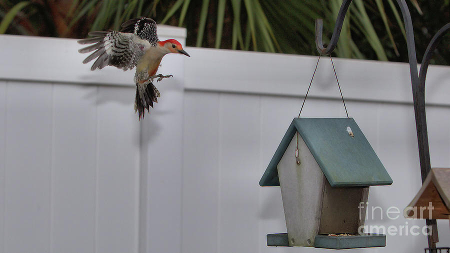 Wildlife_red Bellied Woodpecker_imgl1971 -1_flash High Speed Sync Photograph