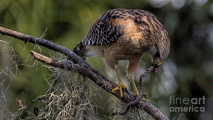 Wildlife_red Shoulder Hawk_circle B_imgl2169 -1 Photograph