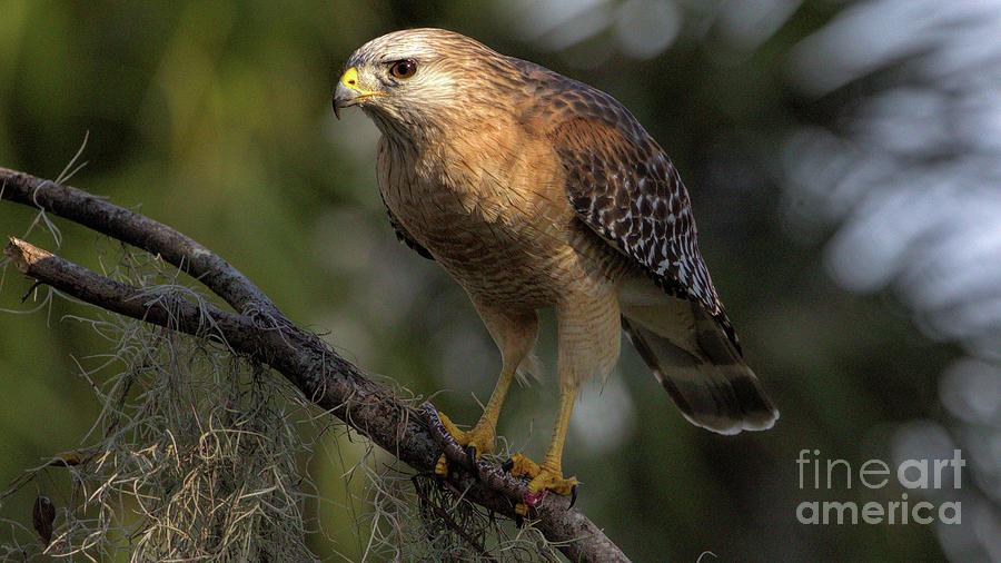 Florida Photograph - Wildlife_Red Shoulder Hawk_Landscape_Circle B_IMGL2163 -1 by Randy Matthews
