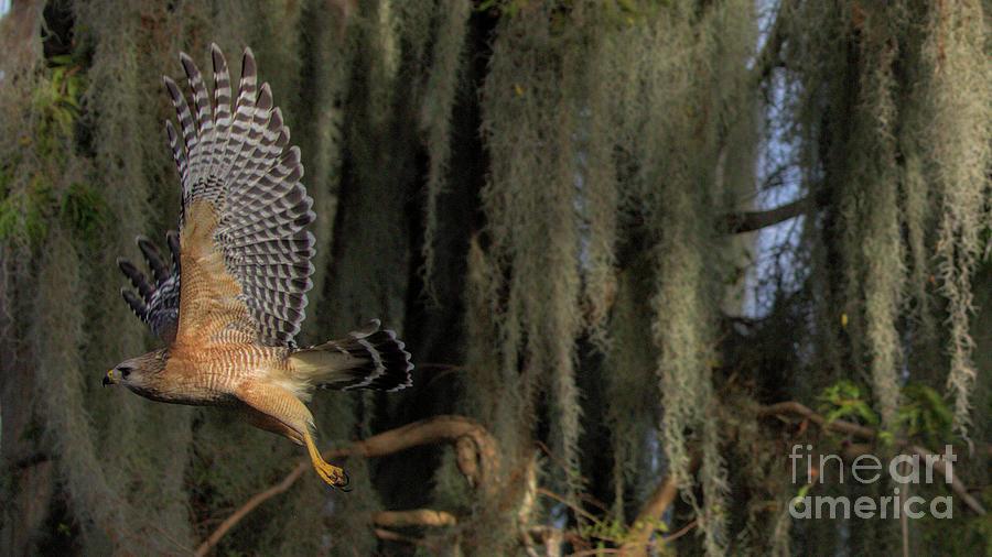 Wildlife_red Shoulder Hawk_landscape_circle B_imgl2178 -1 Photograph