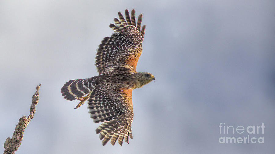 Wildlife_red Shoulder Hawk_landscape_circle B_imgl3911 -1 Photograph